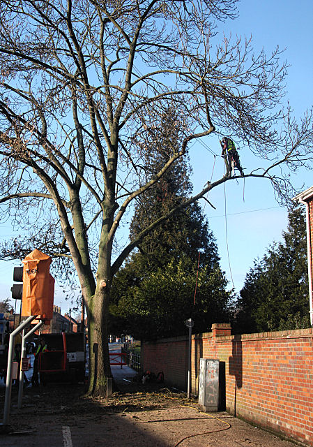 Tree pruning in Bury St Edmunds