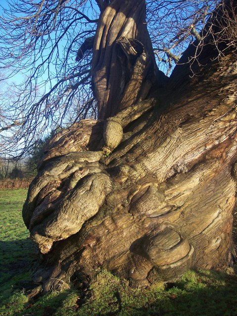 Detail of Twisted Tree trunk