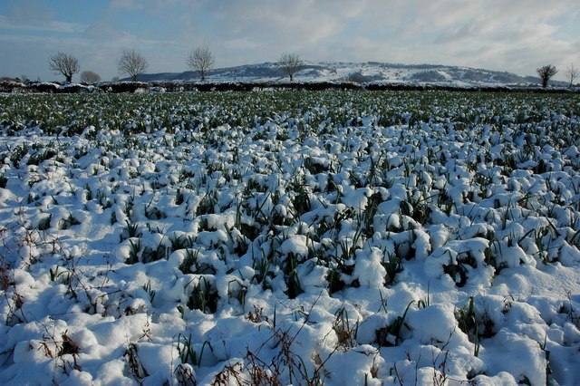Leeks under snow, Birlingham