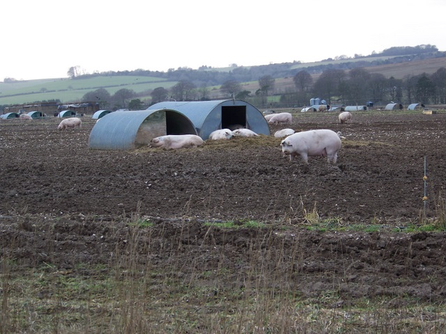Pigs near East Winterslow