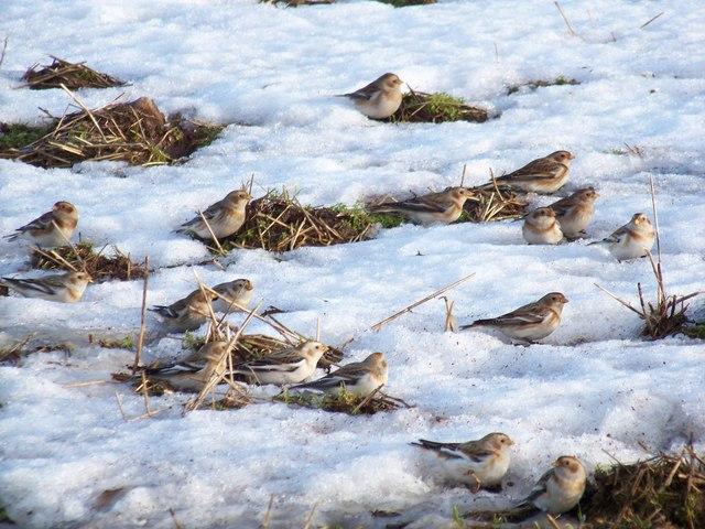 Snow Buntings (Plectrophenax nivalis)