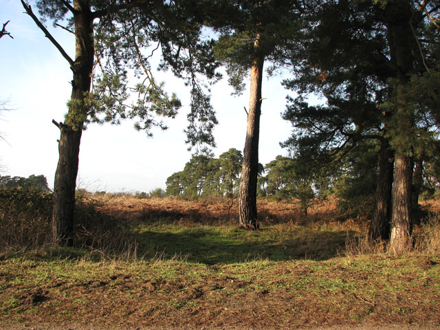 Pine tree shelterbelts south-east of Gooderstone