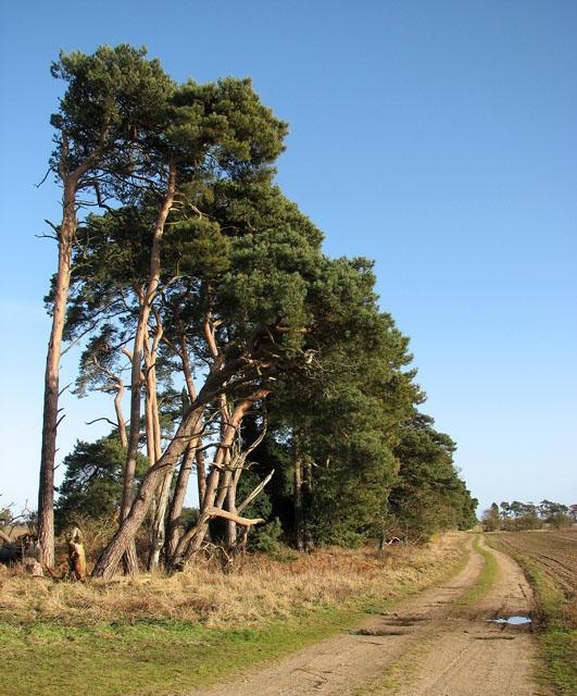 A pine tree shelterbelt