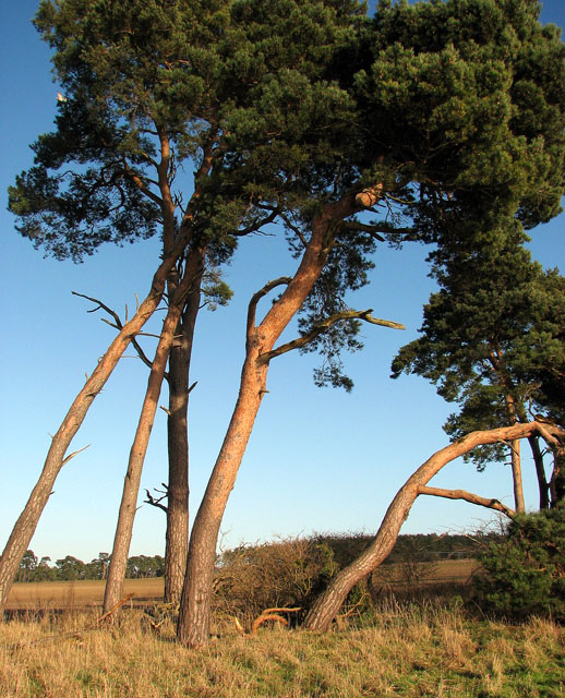 Pine trees in Gooderstone Warren