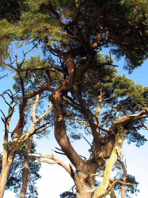 Gnarled pines in Gooderstone Warren
