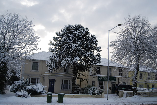 Snow covered Monkey Puzzle Tree, Eridge Rd