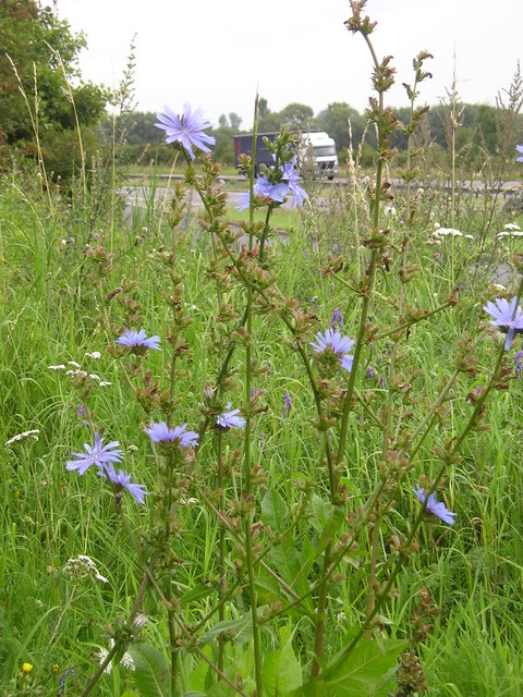 Wild Chicory beside the A34, Oxford Bypass