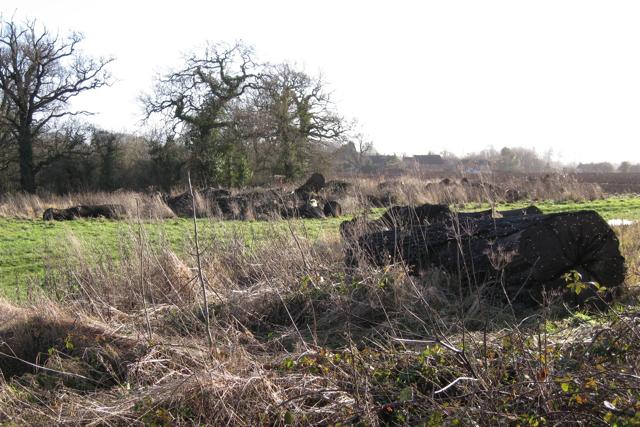 Oak boles and standing oaks near Manor Fields Farm
