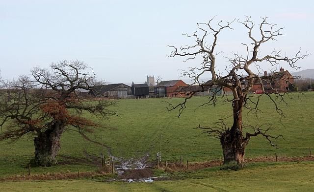 Old oak trees near Home Farm