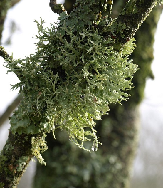 Lichen near Churscombe