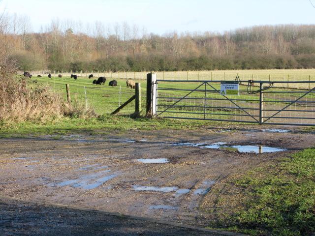 Flock of black sheep off Goldwell Lane