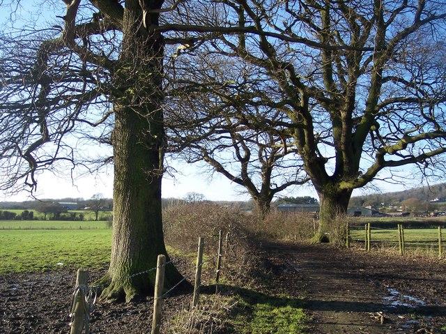Three trees on footpath towards Force Green
