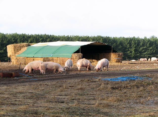 Free-range pigs having a rootle in front of their straw bale house
