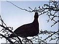 NT6858 : Red Grouse (Lagopus lagopus) : Week 3
