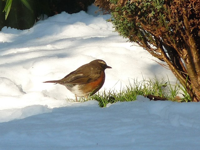 Winter visitor: Redwing