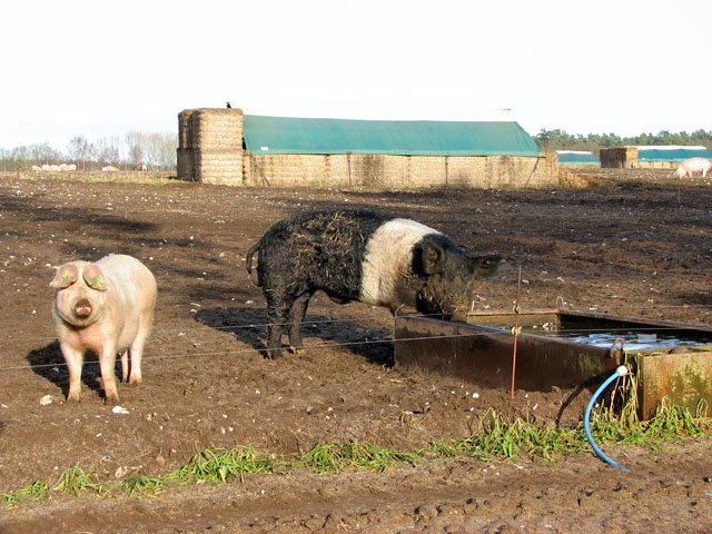 Sow and boar by electric stock fence