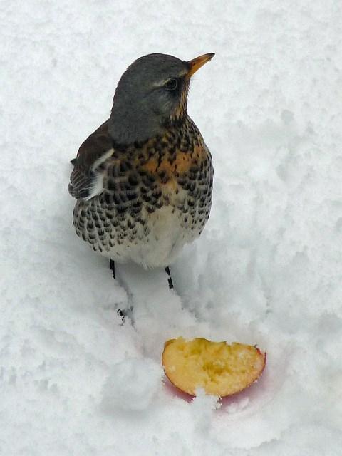 Winter visitor: Fieldfare