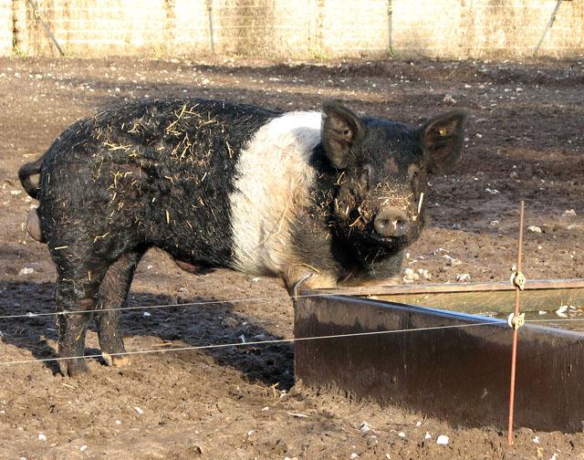 A Hampshire Boar