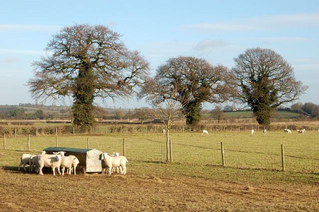 Sheep feeding near three trees, Marton Moor