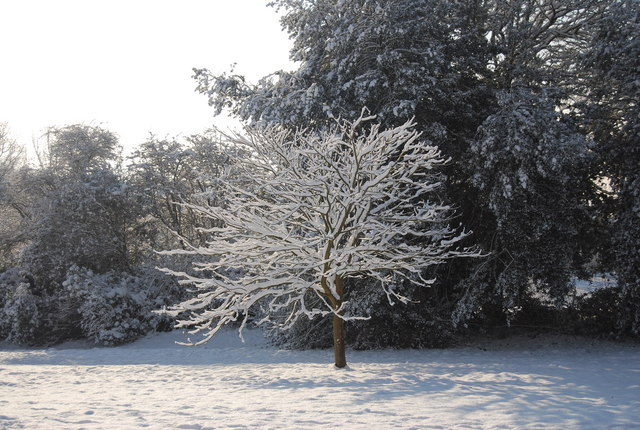 Tree covered in snow, Calverley Park