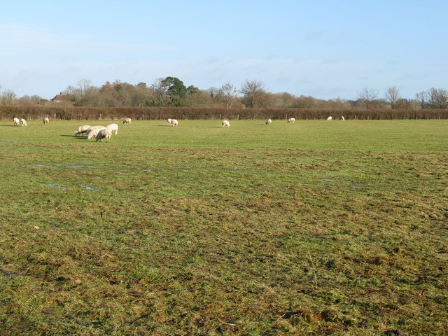 Sheep grazing near Fryern Home Farm