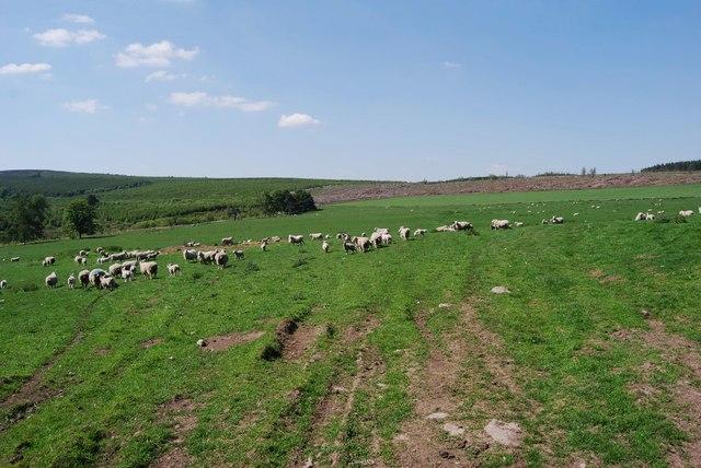 Extensive sheep grazings