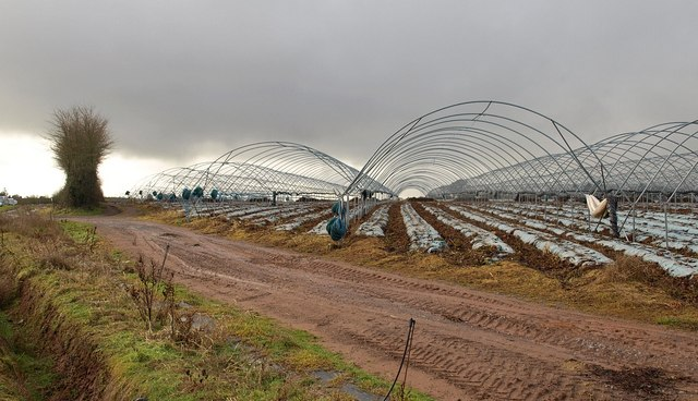 Polytunnels near North Petherton