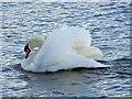 ST5758 : Swan, Herriotts Mill Pool by Maigheach-gheal