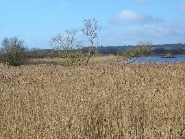 Reeds, Herriotts Mill Pool