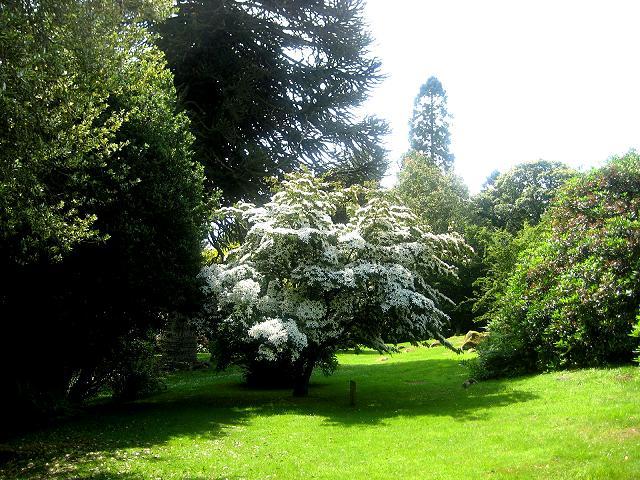 Shambellie House Gardens.. May Tree