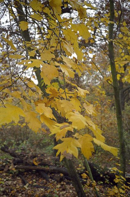 Wild Service Tree in Pound Wood, Benfleet