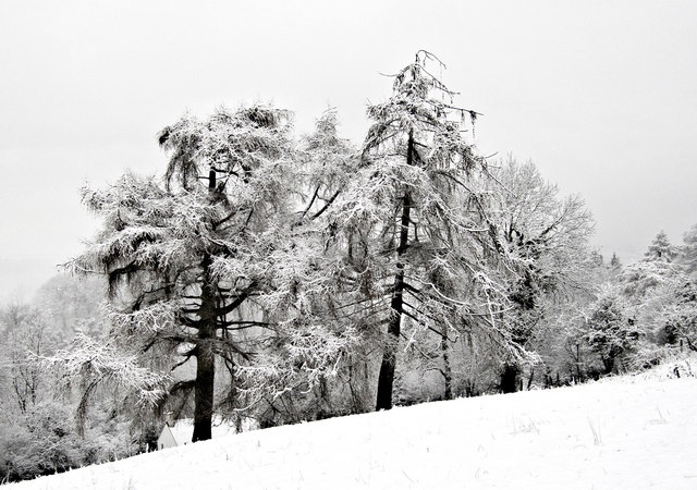 Trees with fresh snow