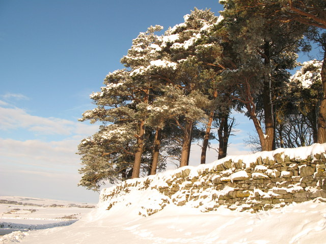 Plantation by the minor road to Sinderhope in the snow