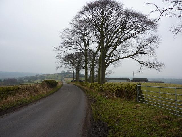 Beech trees on Grange Lane