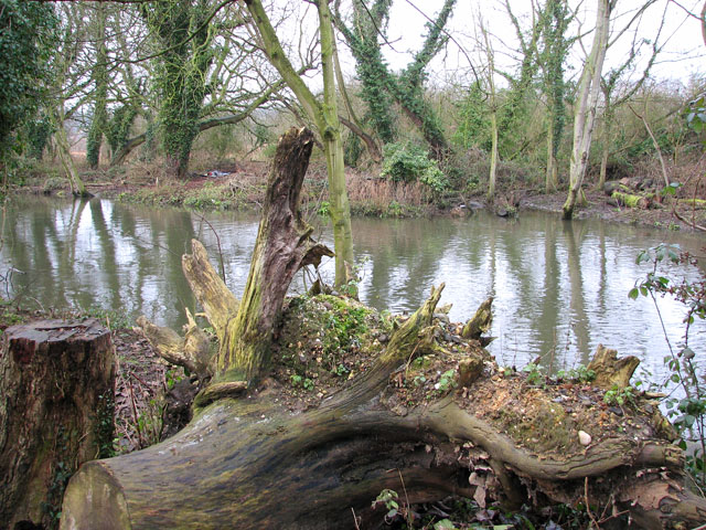 Tree stump on the bank of the River Yare