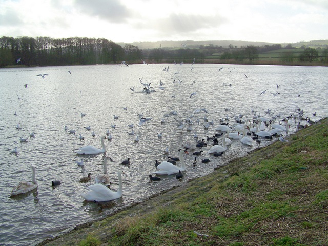Wildfowl at Herriotts Mill Pond