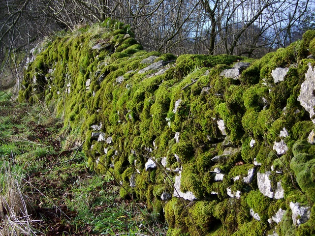 Moss covered stone wall, Ubley