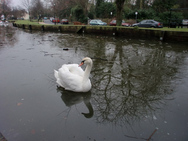 Swan on New River Loop, Enfield