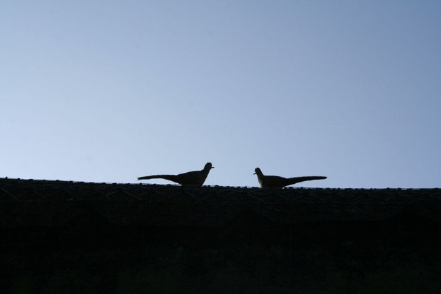 Pheasants on the roof