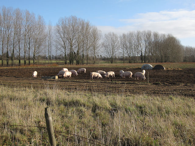Outdoor reared pigs