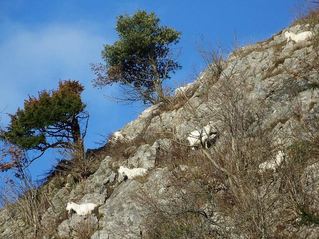 Mountain goats, Burrington Coombe