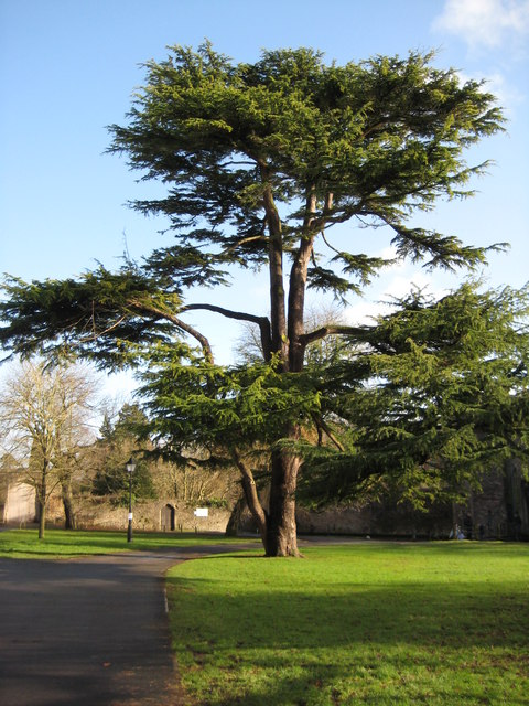Tree beside the Bishop's Palace, Wells