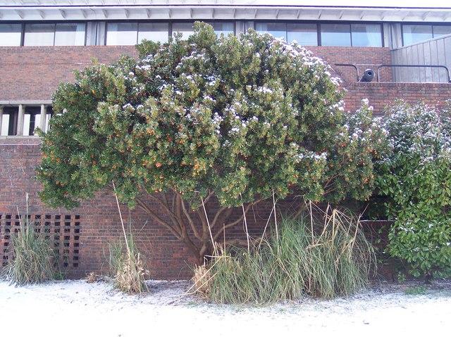 The Strawberry Tree (Arbutus unedo)