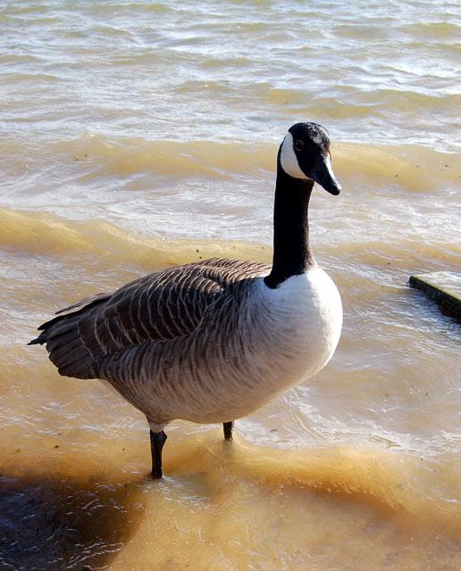 Canada goose at Ravensthorpe reservoir