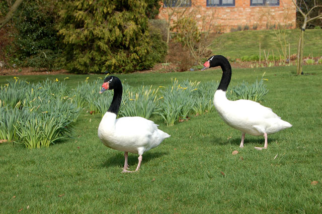 Black necked Swans in the grounds of Coton Manor Gardens