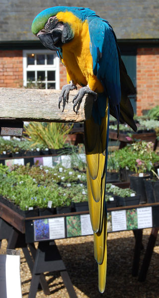 Rodney the parrot in the yard, Coton Manor Gardens