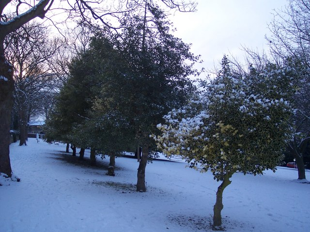 Three Holly Trees in Town Hall Gardens