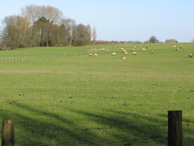 Sheep grazing to the N of Bank Road