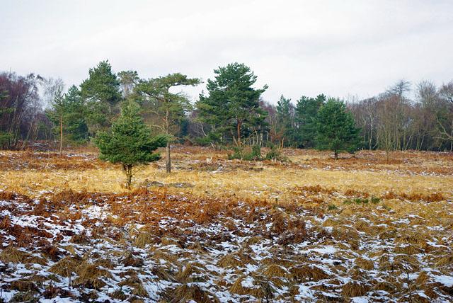 Ashdown Forest - spot the deer!