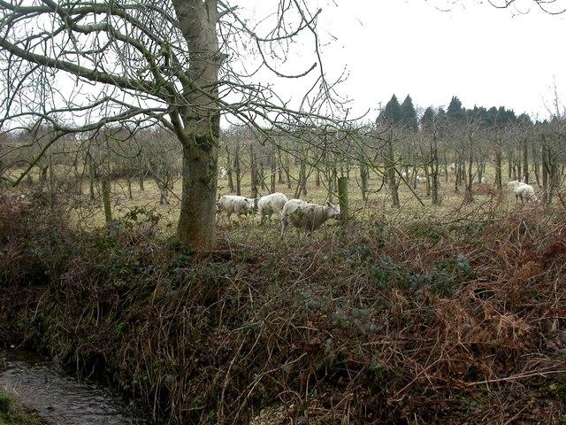Knighton, sheep
